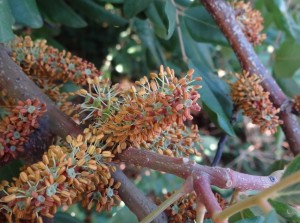carob male flowers